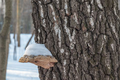 用雪盖的树真菌 免版税库存照片