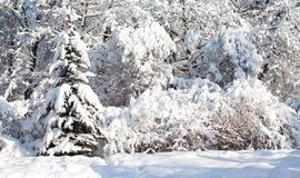 用雪盖的树,冬天在以后的森林风景大雪 美好的冷气候场面,晴天 库存照片