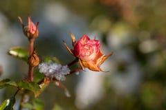 用雪盖的桃红色玫瑰 图库摄影