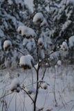 用雪盖的植物名 图库摄影