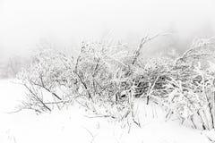 用雪盖的灌木 库存照片