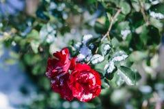 用雪盖的玫瑰丛 库存照片
