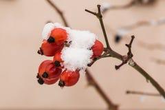用雪盖的红色野玫瑰果莓果 免版税库存图片