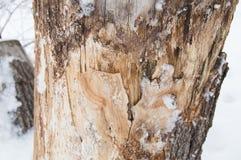 用雪盖的老树桩在冬天森林,公园里在一冷的天 库存图片