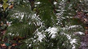 用雪盖的蕨2 影视素材