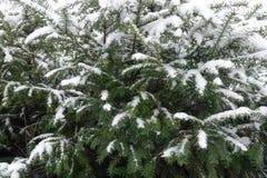 用雪盖的赤柏松Leafage 免版税库存图片