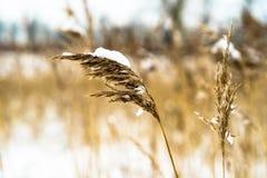 用雪盖的里德羽毛 免版税图库摄影