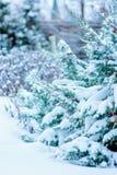 用雪盖的金钟柏树在庭院里 免版税库存照片