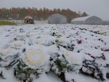 用雪盖的领域植物 库存图片
