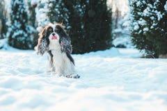 用雪盖的滑稽的骑士国王查尔斯狗狗使用在冬景花园的步行 图库摄影