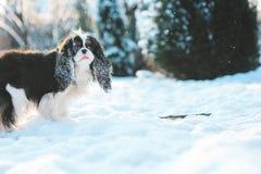 用雪盖的滑稽的骑士国王查尔斯狗狗使用在冬景花园的步行 免版税库存照片