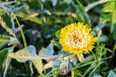 用雪盖的黄色花 库存图片