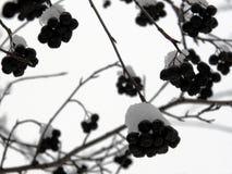 用雪盖的Aronia莓果 库存图片