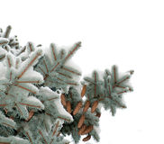 用雪锥体盖的分支蓝色云杉的树 免版税库存照片
