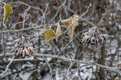 用霜冬天背景厚实的层数和莓果盖的植物叶子、枝杈  背景蓝色云彩调遣草绿色本质天空空白小束 复制空间 库存图片
