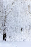 用霜和雪报道的桦树分支 免版税图库摄影