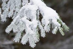 用霜报道的云杉的分支 图库摄影