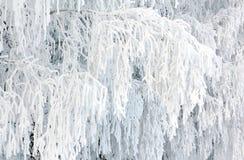 用霜报道的桦树分支 库存图片
