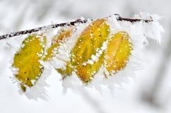 用霜盖的叶子在冬天森林 免版税库存图片