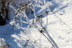 用霜盖的干燥植物 图库摄影