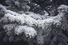 用霜盖的杉木黑暗的针在冬天晒干, 免版税库存照片