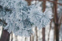 用霜盖的树在一个多雪的森林里 免版税库存图片