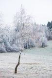 用霜盖的桦树 库存照片