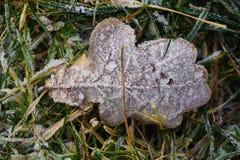 用霜盖的橡木叶子 库存图片