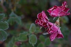 用霜盖的深红玫瑰色开花 免版税库存图片