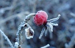 用霜盖的野玫瑰果 免版税库存图片