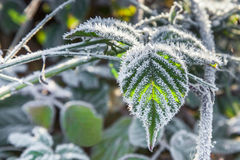 用霜盖的黑莓叶子 图库摄影