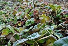 用霜霜盖的草莓叶子 免版税库存图片