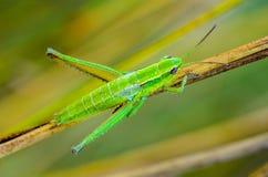 用露水下落盖的一只绿色蚂蚱的若虫  免版税库存照片