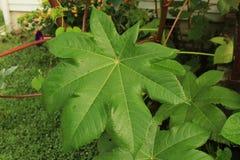 用露水盖的大蓖麻籽叶子 库存图片