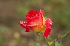 用露水盖的玫瑰 免版税图库摄影