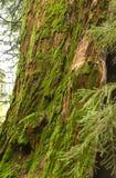 用青苔包括的美国加州红杉树干 免版税库存图片