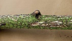 用青苔和地衣盖的树干的特写镜头 免版税库存照片
