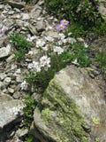 用青苔和山盖的石头纹理开花 免版税图库摄影