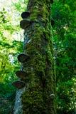 用青苔密集地盖的一棵老树的树干 免版税图库摄影