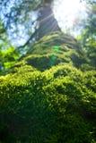 用青苔密集地盖的一棵老树的树干 免版税库存图片