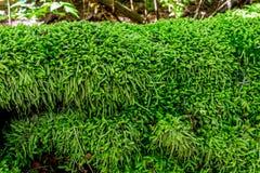 用青苔或小的蕨沉重盖的一本神秘的雪松日志 免版税图库摄影