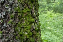 用青苔特写镜头盖的树皮 免版税库存照片