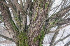 用青苔盖的杨柳树干 免版税图库摄影