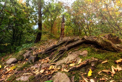 用青苔盖的树的根和烘干叶子 免版税库存照片