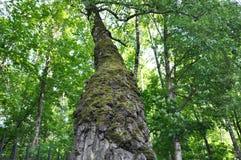 用青苔盖的桦树树干 库存照片