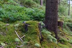 用青苔盖的老树桩在森林里 免版税库存图片