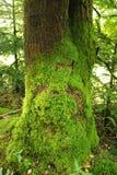 用青苔盖的老树 库存图片