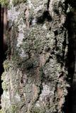 用青苔盖的老桦树的树干 库存图片