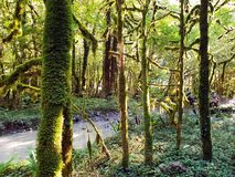 用青苔盖的黄杨木潜叶虫干燥森林,树,树树干  免版税库存图片