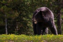 用餐在春天花的黑熊 图库摄影